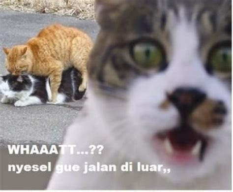 meme kucing  imut ngegemesin  bikin ketawa