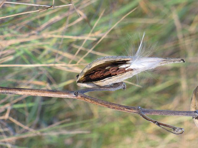 open milkweed pod