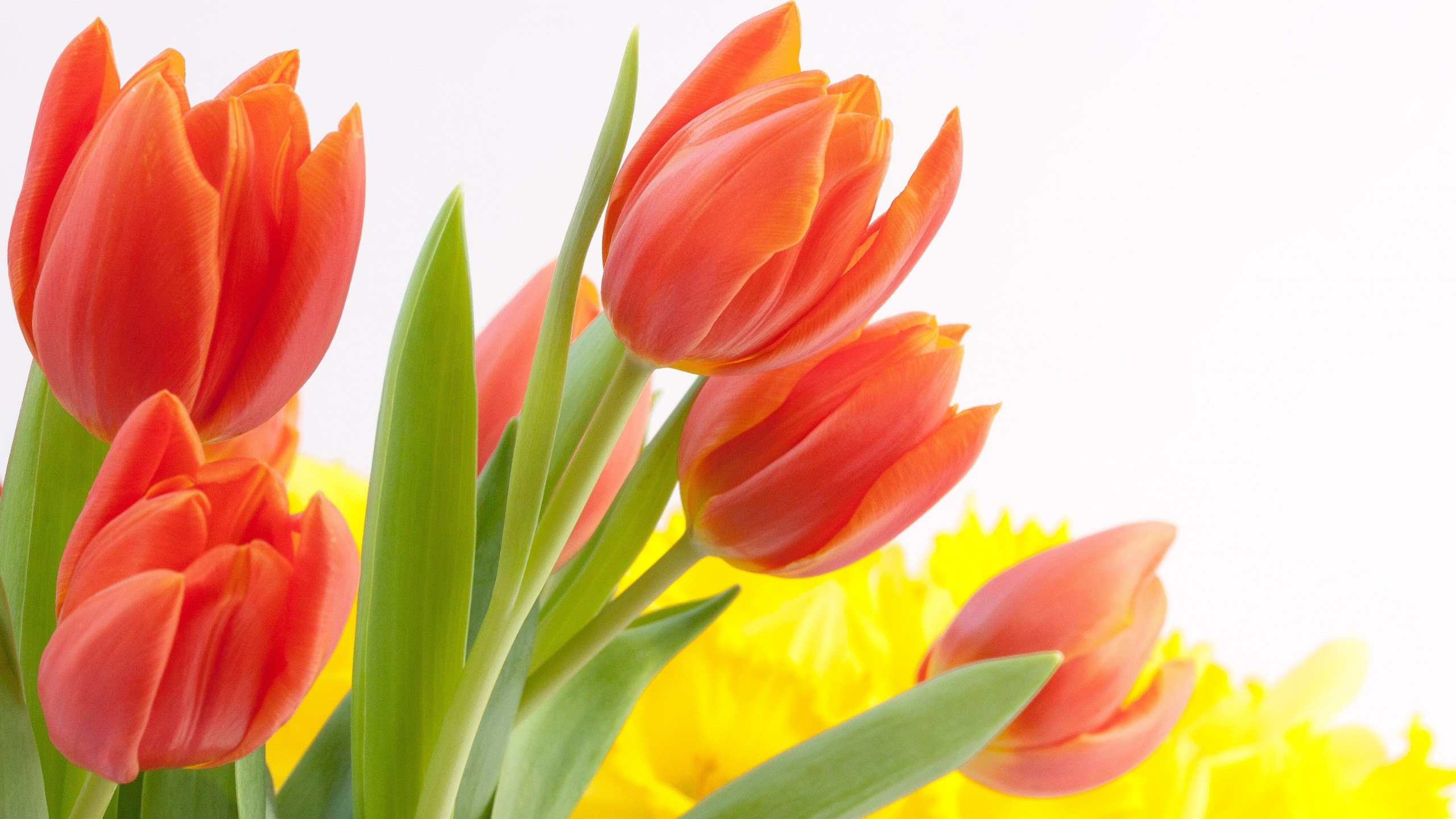Tulip Flowers Hd Wallpapers Free Download 2560x1440