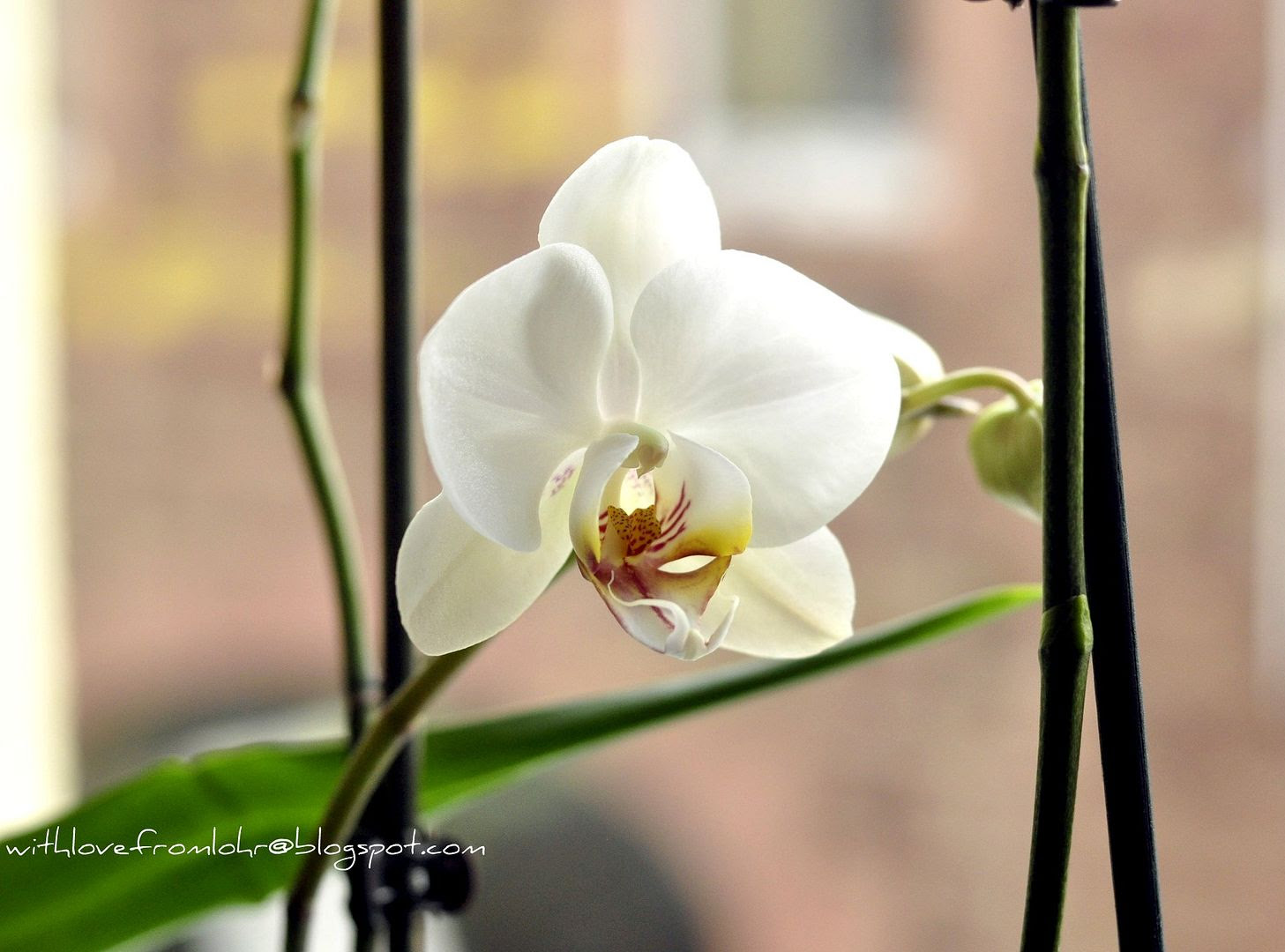 13.02.12, The last of my orchids bloomed...