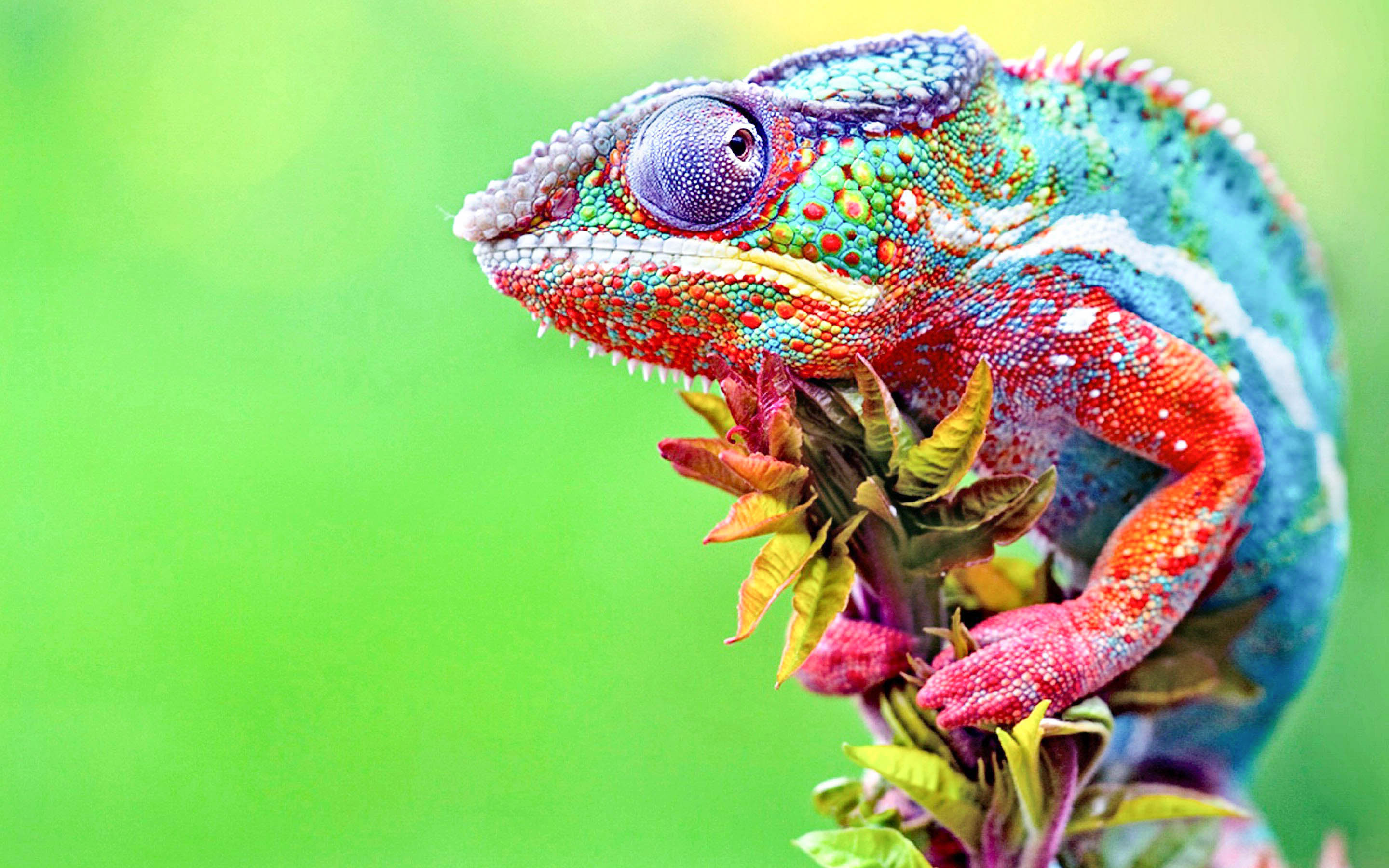 Chameleon Wallpaper - HD Wallpapers
