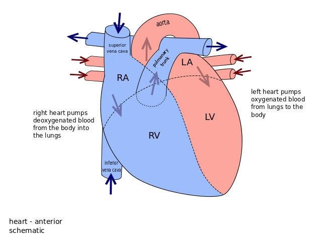 heart: Heart And Lungs Diagram For Kids
