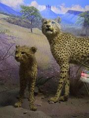 durban natural history museum - cheetahs