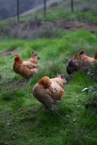 Grooming Hen