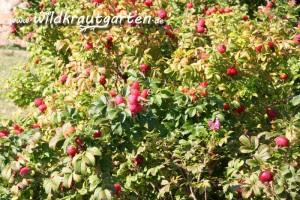 Wildkrautgarten Hagebutte