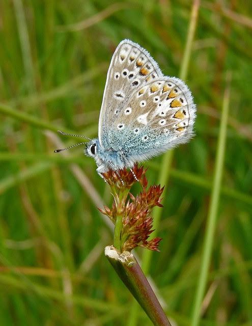 24570 - Common Blue, Isle of Mull