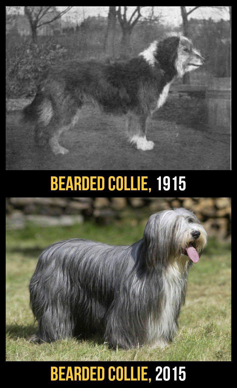 razas perro evolucion 7