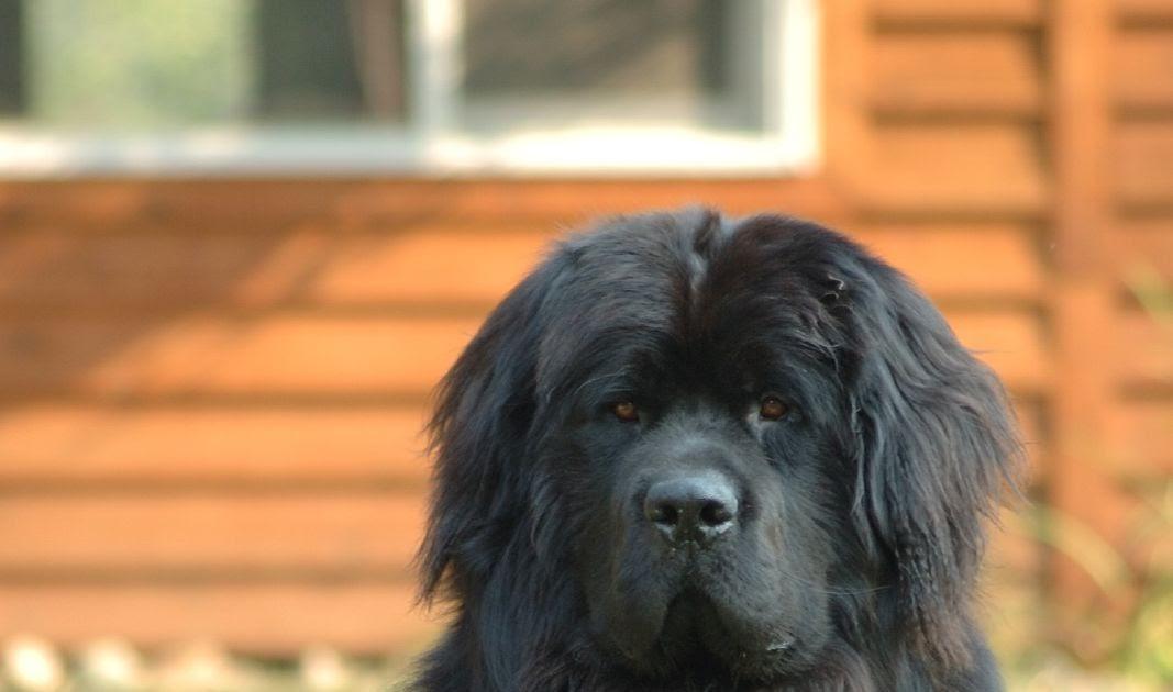 newfoundland dog. Black Bedroom Furniture Sets. Home Design Ideas