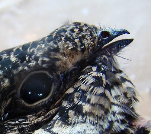 Macro nighthawk beak