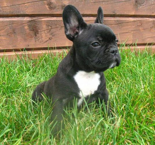 French Bulldog Babies By Whisperwilow French Bulldogs For Sale In