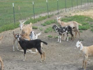 Dairy Goat Nannies Dairy Goat Kids Kids of 2013
