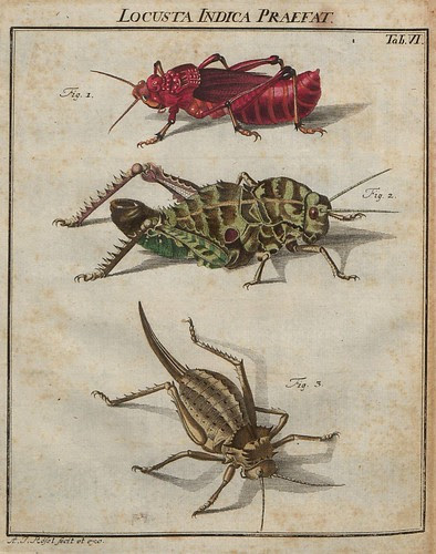 Locusta Indica praefat V.2 a