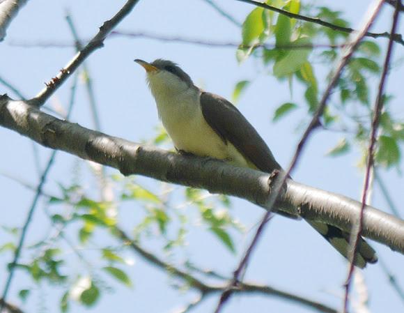Ed Gaillard: birds &emdash; Yellow-Billed Cuckoo, Central Park