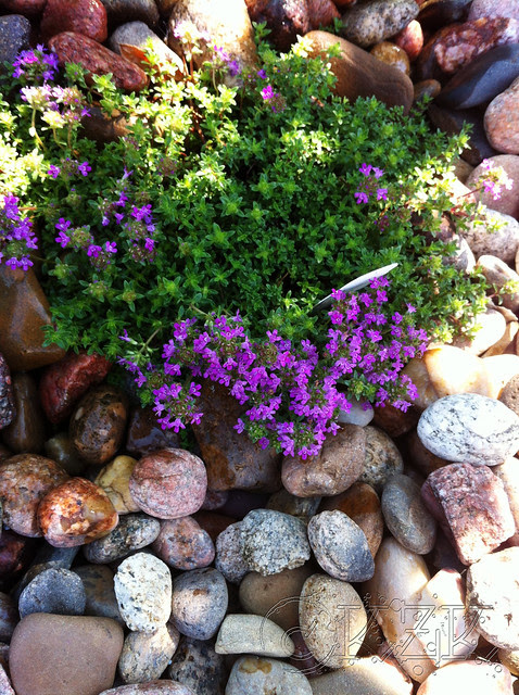 """IMG_9275 """"Red"""" Creeping Thyme"""