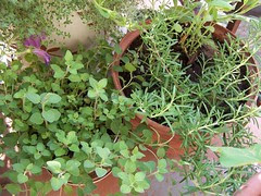 oregano, rosemary & a faded petunia
