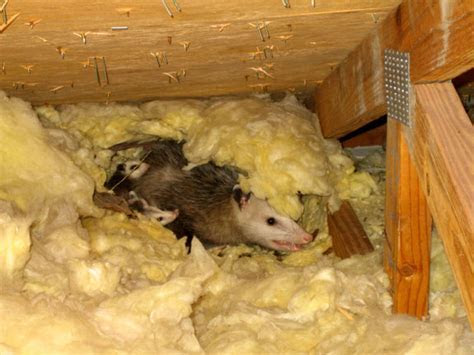 Opossum Inside The Home Attic   Orlando