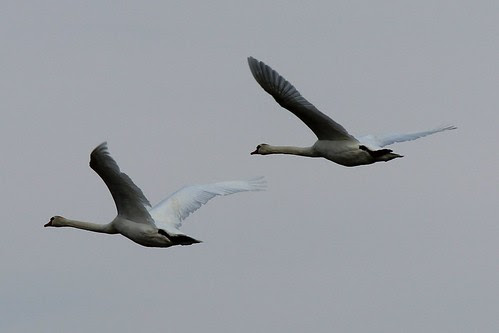 IMG_0154_Mute_Swans_in_Flight