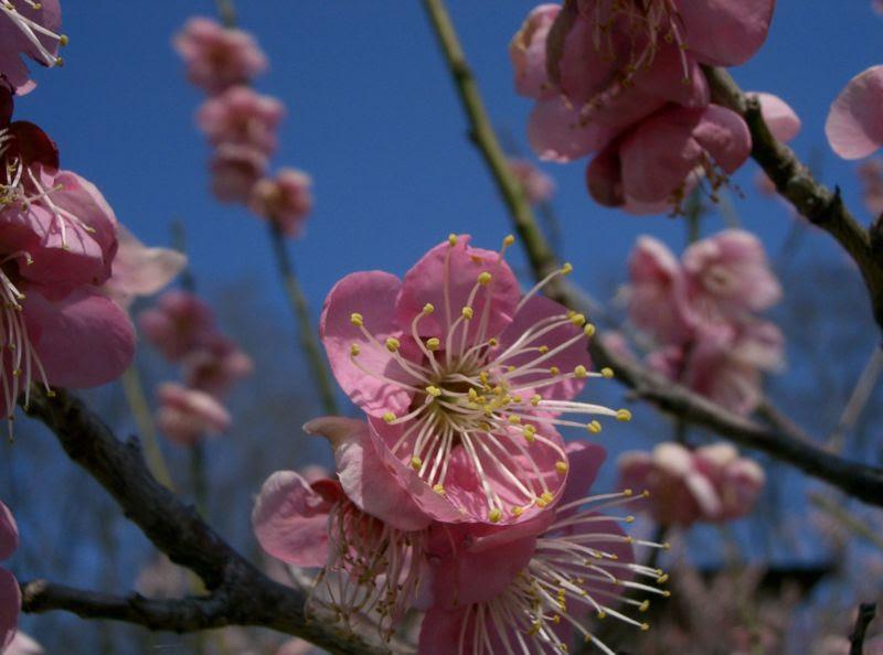 File:Prunus mume Michishirube1.jpg