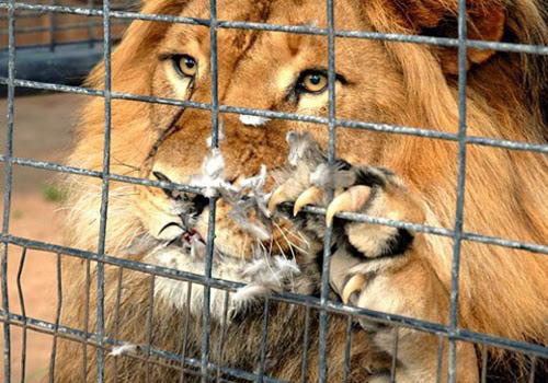 Resultado de imagem para Pomba escapa das garras de leão em zoológico na Austrália. Fotos!
