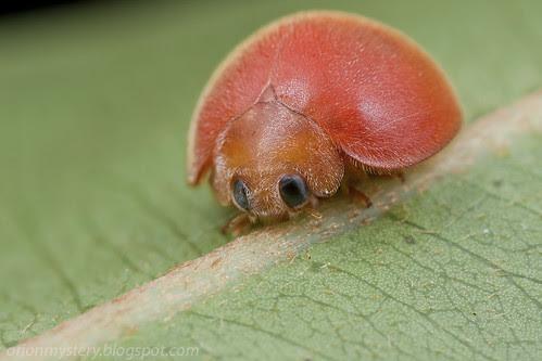 orange spotless ladybug / ladybird / lady beetle IMG_1566 copy