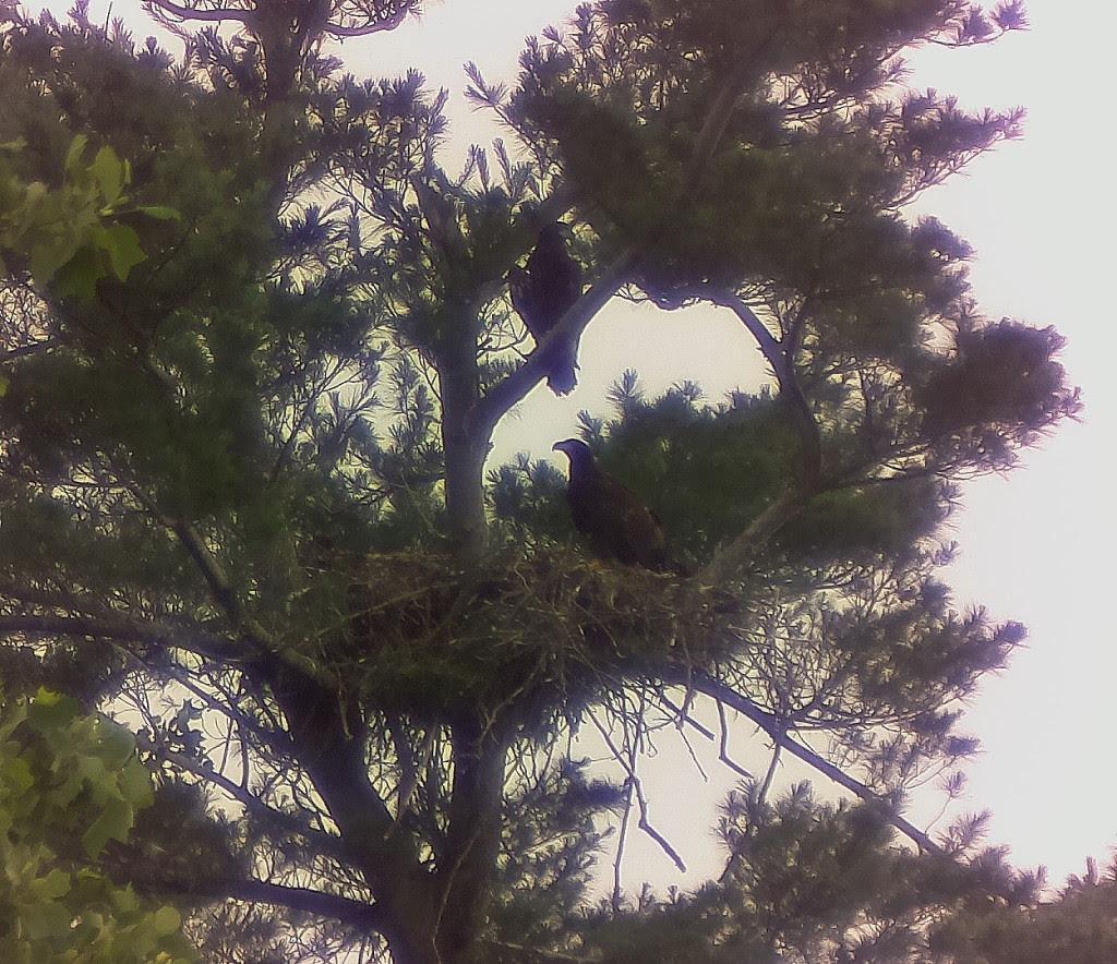Eaglets_PERT3A
