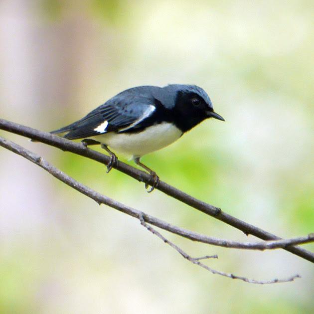 Ed Gaillard: birds &emdash; Black-Throated Blue Warbler