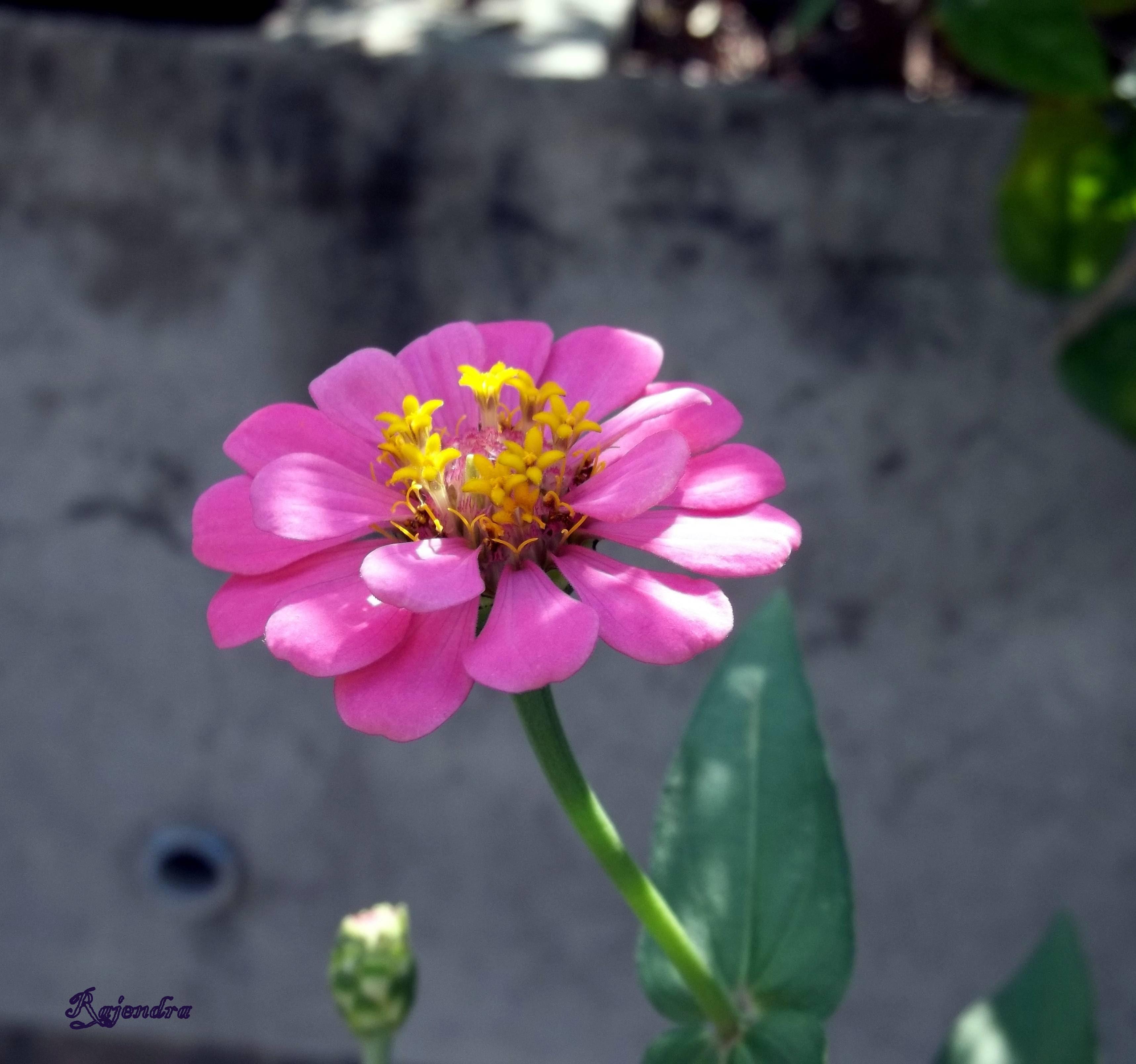 Image: Zinnia Flower