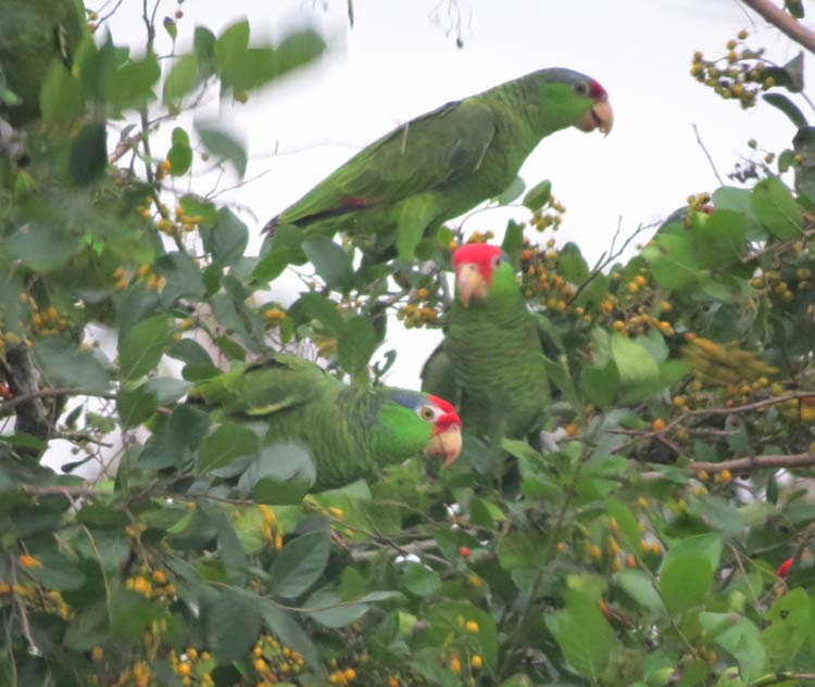 Texas 2015 red-crowned parrot 3 for ws