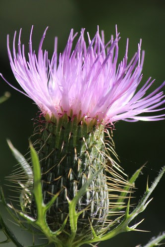 IMG_1278a_Thistle_Flower
