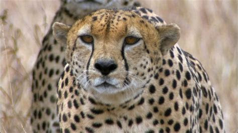 cheetahs  fire moviegp mp mp flv webm