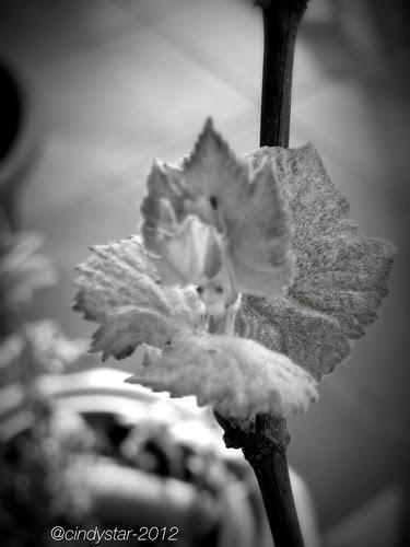 uva fragola bianca-white foxy grape