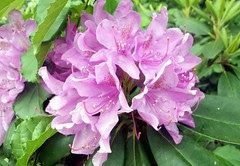 Rhododendron_6110b
