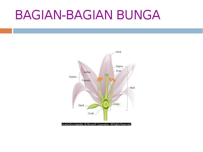 9000 Gambar Bunga Tulip Dan Penyerbukannya Paling Keren Infobaru