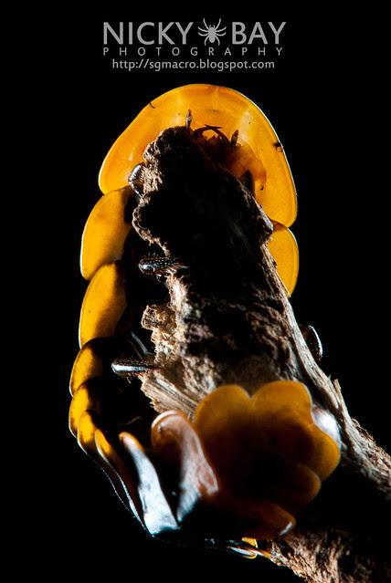 Firefly larva (Lampyridae) - DSC_5544