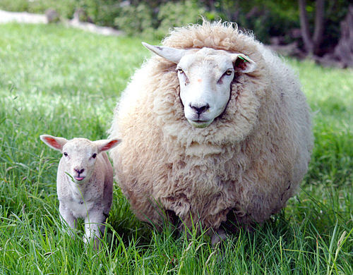 Ewe and lamb in Kent