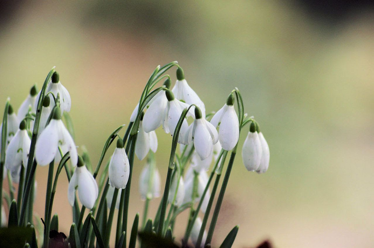 photo PICT1111_Snow-Drops_I-1.jpg