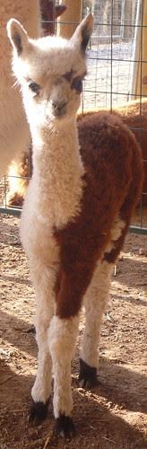 Cookie Front Legs 1 week