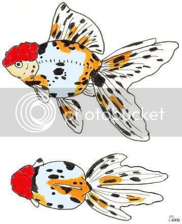 Ikan Koki Jelek Dari Jepang Versi Cetak