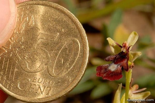 Чисто европейская орхидея