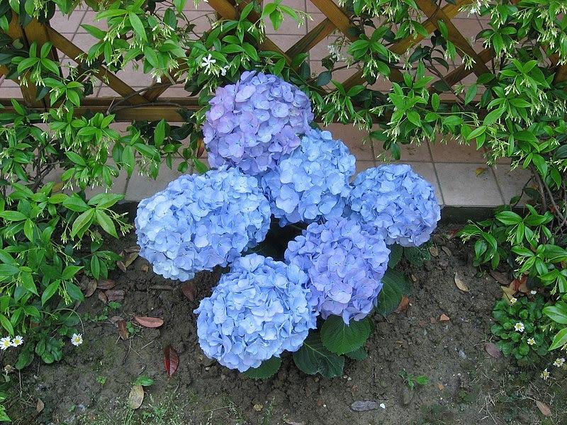 File:Blue Hydrangea.jpg
