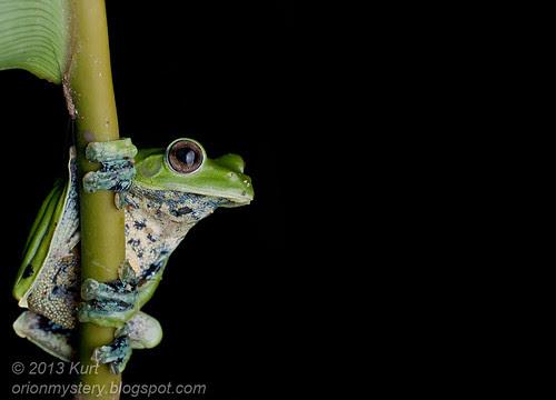 Norhayati's Flying Frog - Rhacophorus norhayatii IMG_2585 horizontal copy