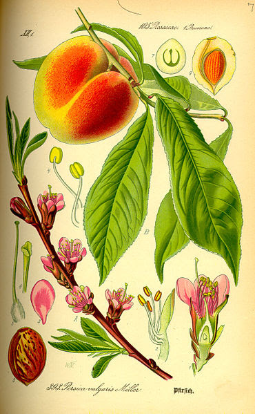 File:Illustration Prunus persica0.jpg