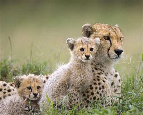 Cheetah Family   Wild Animals Wallpaper (2603080)   Fanpop