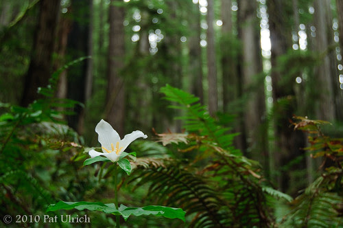 Trillium in the Forest