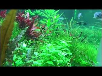 Narybek Molinezji po przycięciu roślin patr 3