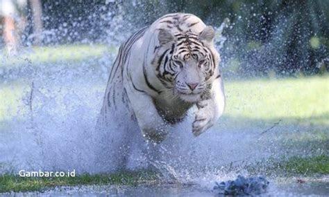 gambar harimau putih menerkam terbaru gambar