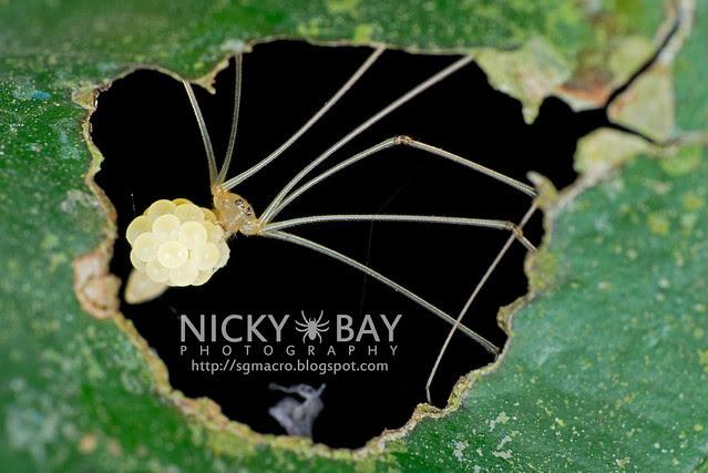 Cellar Spider (Pholcidae) - DSC_1338