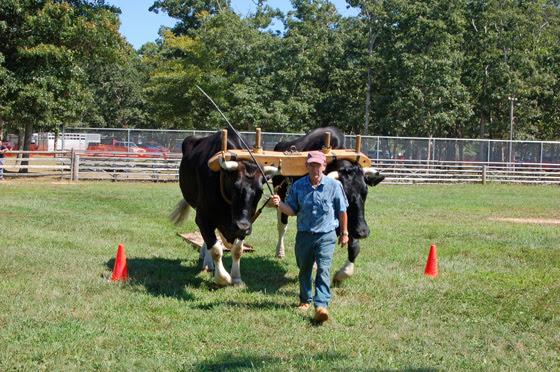 1black-oxen-through-first-cone.jpg