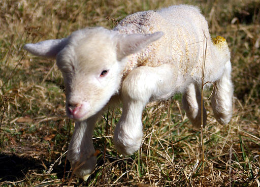 Lamb first steps (edited)