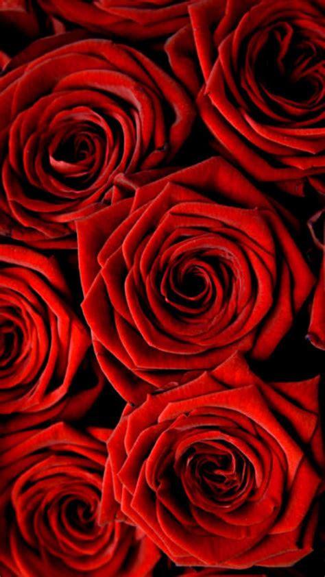 rose wallpaper  iphone  cute wallpapers